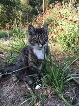 300 Seeds Ivan's Cat Grass - $13.86