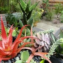 Excellent Aloe Mix Succulent (Aloe species mix) Fresh Seeds 4 Variety #IMA47 - $14.99+