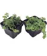 "2 Plants 2"" Pots Pilea Depressa Large Leaf Baby Tears Jobes Tears Tiny T... - $48.99"