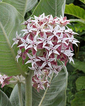 SHIP From US, 100 Seeds Showy Milkweed, DIY Healthy Vegetable AM - $39.99