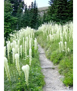 100 Seeds -Bear Grass aka Bear Lily Beargrass Ornamental Xerophyllum Ten... - $17.99