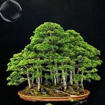 50 Seed Bonsai Metasequoia Dawn Redwood Evergreen Ornamen, DIY Beautiful... - $8.99