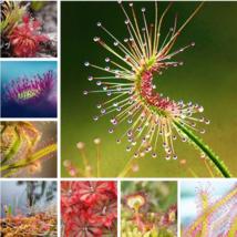 100 pcs / lot Carnivorous Plants Potted Flycatcher Bonsai Sundew PlantaD... - $2.79