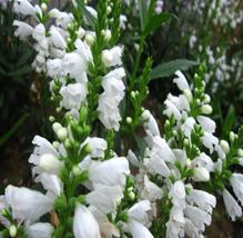 20pcs Very Beautiful White OBEDIENT Flower Seed Physostegia virginiana alba IMA1 - $13.99