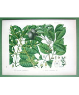 JAVA ALMOND & Manila Elemi Plants - SUPERB Botanical Print Color by Kohler - $28.31
