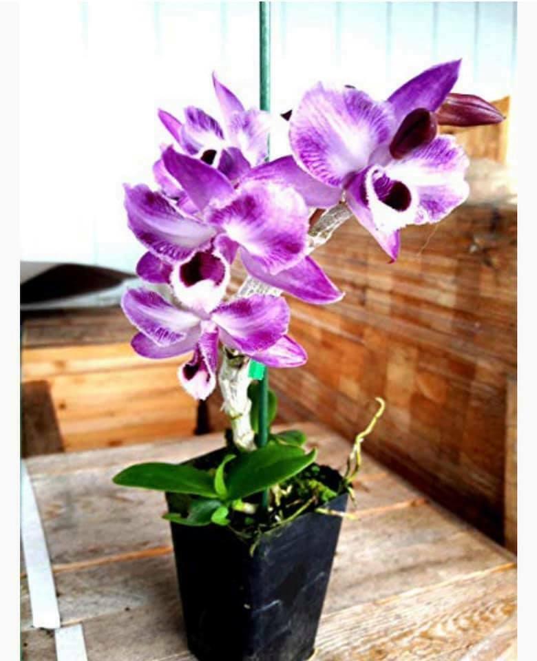 Dendrobium parishii var trilabelo Orchid Plant Species Rare And Unusual