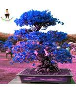 Top Selling Sky Blue Bougainvillea Spectabilis Willd bonsai Bonsai Plant... - $8.22