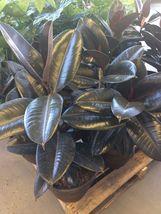 Plant Ficus Elastica - 'Burgundy' - moraceae (It's not seeds) - $28.99