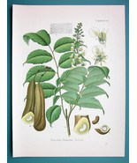 BALSAM OF PERU Tree Toluifera Pereirae - Beautiful COLOR Botanical Print - $26.01