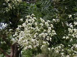 10 Japanese Pagoda, Sophora japonica, Tree Seeds (Fast, Showy, Fragrant, Bonsai) - $10.22