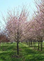 Autumnalis Flowering Cherry Tree image 5