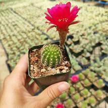 1 Live Bareroot 2 inch - Chamaelobivia 'Rose Quartz' Peanut Succulent Pl... - $19.99