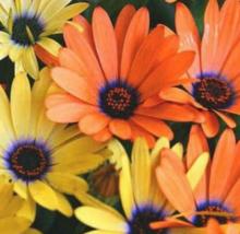 100 Pcs Seeds African Daisy Dimorphotheca Aurantiaca Mixed Flower -  RK - $6.00