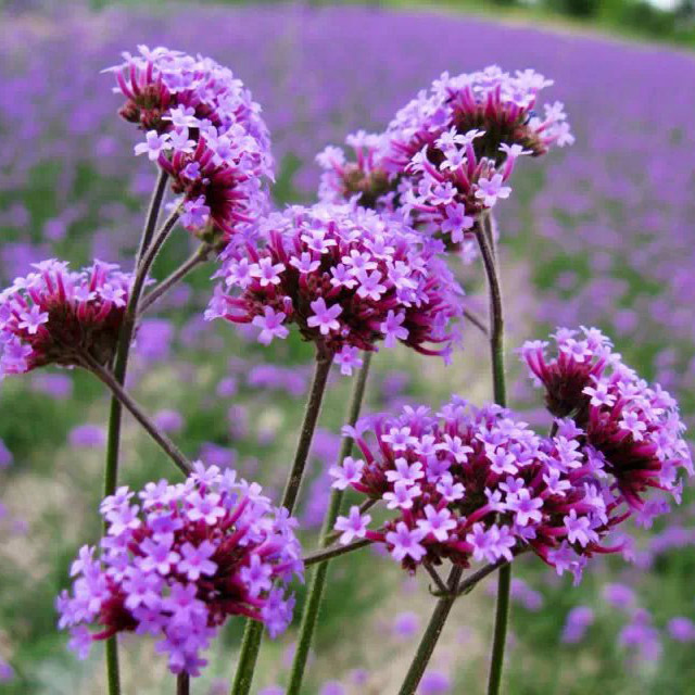100 Seeds/lot,Verbena seed  DIY Perennial Flower