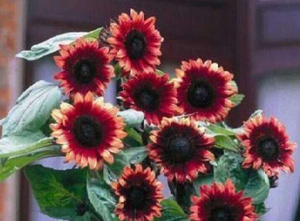 20pcs Very Wonderful Rare 'Cherry Rose Hybrid' Dark Red IMA1 - $13.99
