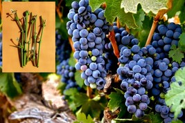 5 Green syrah grapes Cuttings - $38.30