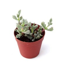 """Oscularia deltoides 'dew plant'- succulent plant in 2"""" pot (Pack of 1, 2 or 4)"""