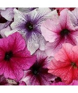 SHIP From US Petunia Veined Mix Flower (Petunia Multiflora F2)100+Seeds ... - $24.99
