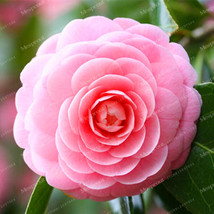 100PCS Camellia Seeds Flower Seeds Plants Common Camellia Seeds - $4.92