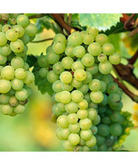 3 Cuttings of Early Muscat Grape Vine, Delicious Grapes,  Zones 6-9 - $9.78