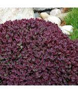 1 Live Potted Plant - sedum FIRECRACKER cherry red short drought toleran... - $47.99