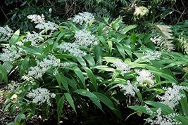 5 Starter Plants of Smilacina Stellata - $138.60