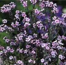 100 Forget Me Not Chinese Pink Seeds - $5.94