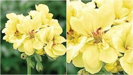 134 - 20 Yellow Geranium Seeds Flowers Seed Bloom Flower – RR01 - $21.95