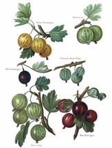 Vintage Fruit Prints: Yellow Champagne - Fruit Growers Guide - 1880 - $12.82+
