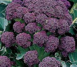 1000pcs Very Delicious Broccoli Early Purple Sprouting Vegetable Seeds IMA1 - $27.95