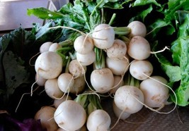 SHIP FROM US Turnip, Shogoin Fresh Hand-Packaged Heirloom Seeds Non GMO ... - $6.00