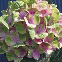 Live Plant - Hydrangea Hortensia Mophead Root - $21.49