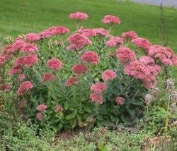 5 Bare Root of Live Perennial Flower Sedum Autumn Joy - $47.52