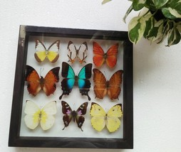 Real Rare Mix Weiskei Beautiful Butterfly Frame Framed Display Insect Ta... - $92.22