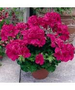 20 Seeds Geranium Caliente Rose aka Pelargonium peltatum Plant Fit - ₹278.70 INR