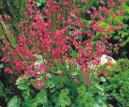 50 Coral Bells (Heuchera) Firefly Seeds - $8.99
