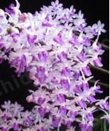 "Seidenfadenia mitrata orchid species,healthy plant 4"" Basket 1018A - $26.96"