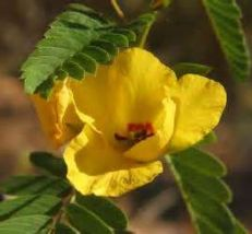 SHIPPED From US, PARTRIDGE PEA 50 FRESH SEEDS YELLOW FLOWER*FREE US SHIP... - $16.99