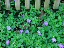 "Vinca Minor Periwinkle 4"" pot, graveyard vine ground cover 15-20 leads image 3"