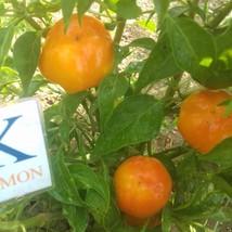 Apfel Paprika,10 semillas,seeds,Capsicum annuum,cosecha propia (276) - $2.11