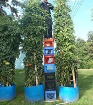 TOMATO TREE * TALLEST * LARGEST * HEAVY YIELD * EASY PICKIN ! - $2.64