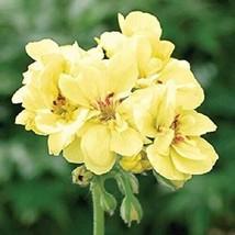 10 Yellow Geranium Seeds Perennial Flowers Seed Bloom Flower - $8.86