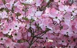 """Pink Dogwood tree 10-16"""" tall quart pot image 3"""