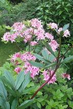 25 PINK ROYAL AZALEA Rhododendron Schlippenbachii Bush Shrub Flower Seeds - $15.68