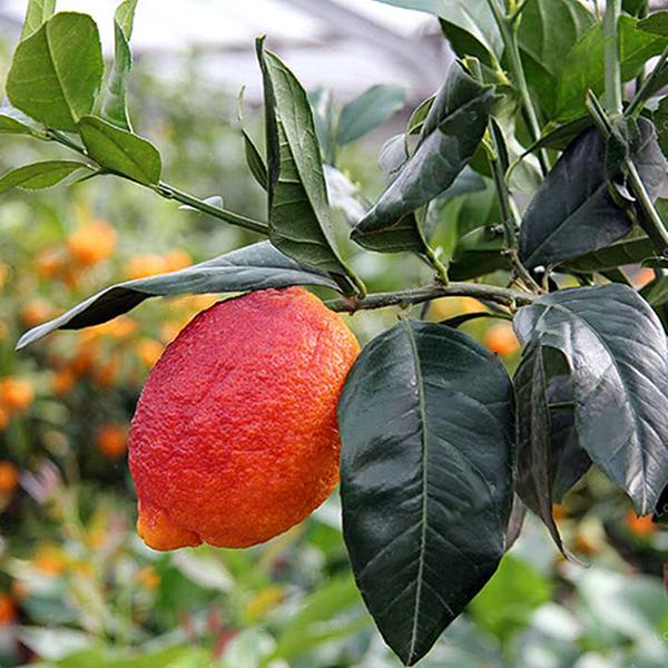 Egrow 20 Pcs/Pack Red Color Lemon Seeds Drawf Tree Bonsai Organic Fruit Seed Hom