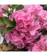 "4"" Pot - Perfecto Mundo Double Pink Azalea Rhododendron - Gardening - tk... - $56.00"