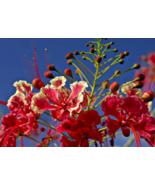 10 Pcs Seeds Caesalpinia Pulcherrima Barbados Bird Of Paradise Red Flowe... - $16.00