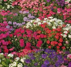 SHIP FROM US 7,000 Verbena Ideal Florist Mix Seeds, ZG09 - $41.56