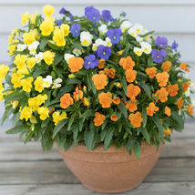 Penny All Season Mix Viola Flower Seeds Container Flower Seeds - $8.99