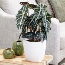 Tropical Alocasia Polly Black Shield Plant Indoor Outdoor Unique Flower ... - $30.02